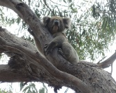Koala in wild spotted on KI