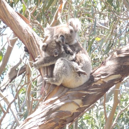 Koala and baby on KI