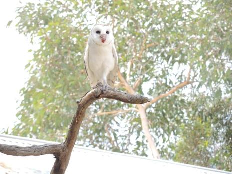 Owl in show