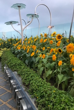 Sunflower Garden on Airport Roof